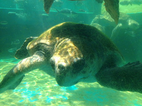 姫路水族館の海亀です・・