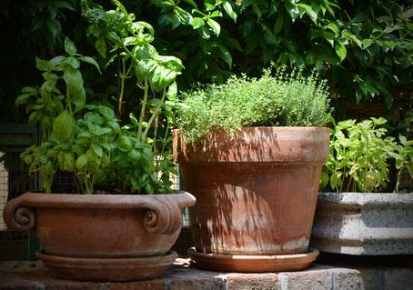 basilique,thym,tomate,persil,aménagement d'un jardin aromatique