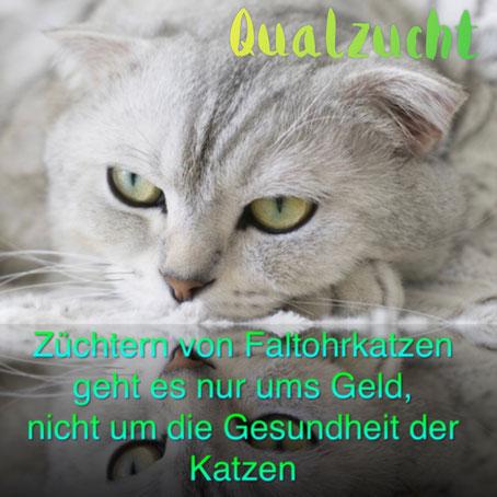 Lassen Sie sich nicht für dumm verkaufen: Züchtern von Faltohrkatzen geht es nur ums Geld, nicht um die Gesundheit der Katzen