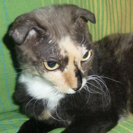 Vielen Dank an die Katzenhalterin, die mir das Foto von ihrer Katze mit Faltohren zur Verfügung gestellt hat. Die Katze ist schon tot.