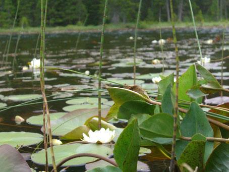 Der Schwarze See am Reschenpass bei Nauders im Vinschgau. Seerosenblüte im Juli