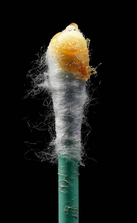 cotton bud with ear wax