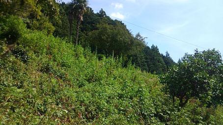 整備前の茶畑。雑草に埋もれてしまっていて、お茶はどこ~?状態