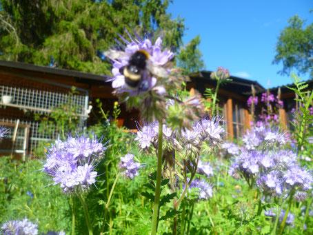 Helags Husky, Erdhummel in unserem Garten