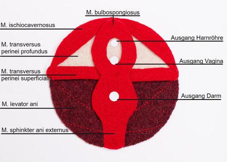 Beckenbodenmodell flach, weiblich, Muskelschichten des Beckenboden