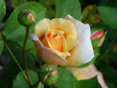 Rose aufblühen