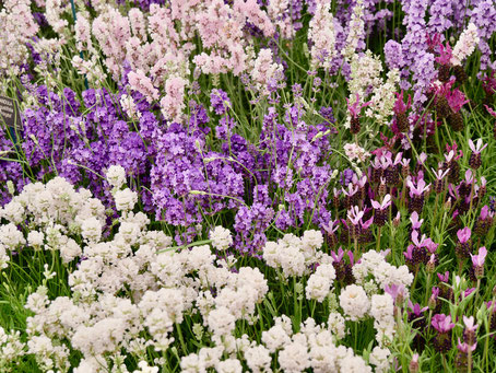 England Chelsea Flower Show London Lavendel