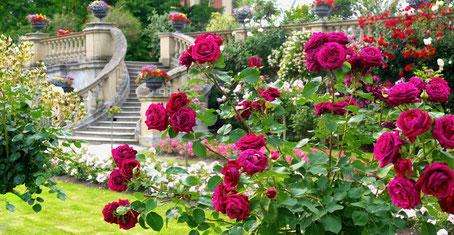 Gartenreise Deutschland: Insel Mainau mit vielen Gartenfotos vom Rosengarten