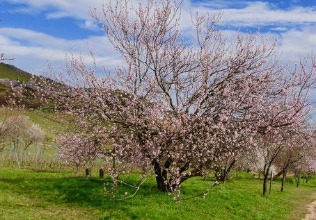 Mandelblüte Rheinland Pfalz  Sehenswürdigkeit Deutschland Mandelblüte Rheinland Pfalz