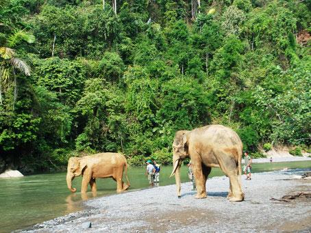 Olifanten die gaan badderen in de rivier bij Tangkahan aan de rand van het Gunung Leuser national park