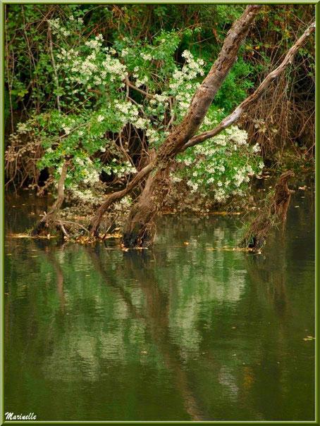 Cotonniers en fleurs et reflets en en bordure de La Leyre, Sentier du Littoral au lieu-dit Lamothe, Le Teich, Bassin d'Arcachon (33)