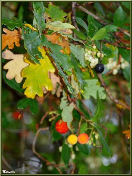 Méli mélo forestier : Branches de chêne automnal et arbousier avec ses fruits, forêt sur le Bassin d'Arcachon (33)