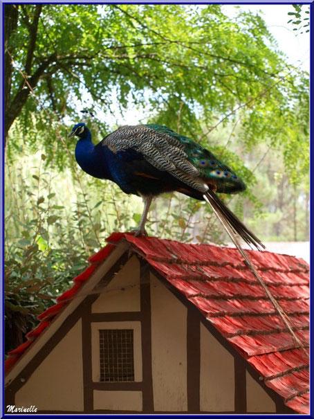 Paon, Parc de la Coccinelle, mini-ferme à Gujan-Mestras, Bassin d'Arcachon (33)