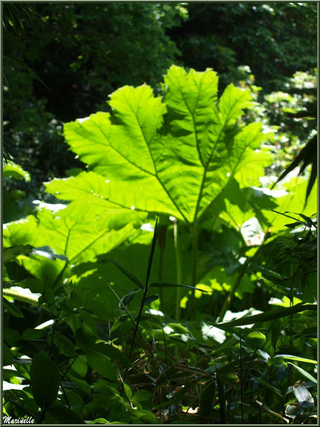 Le sentier de la Vallée du Bas  : Gunnera manicata ou Rhubarbes géantes du Brésil et autre végétation - Les Jardins du Kerdalo à Trédarzec, Côtes d'Armor (22)