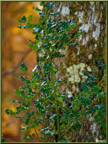 Pied de houx adosséà un tronc de pin , forêt sur le Bassin d'Arcachon (33)