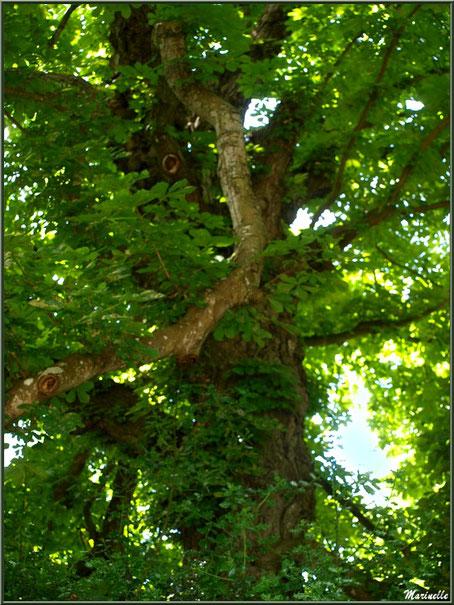 Le sentier de la Vallée du Bas : très vieux marronnier- Les Jardins du Kerdalo à Trédarzec, Côtes d'Armor (22)