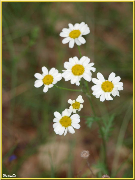 Marguerites Communes en bord de route, flore Bassin d'Arcachon (33)