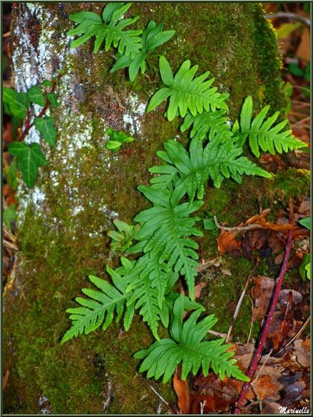 Fougères Polypode (ou Réglisse des bois, Réglisse Sauvage) sur tronc moussu, en forêt sur le Bassin d'Arcachon (33)