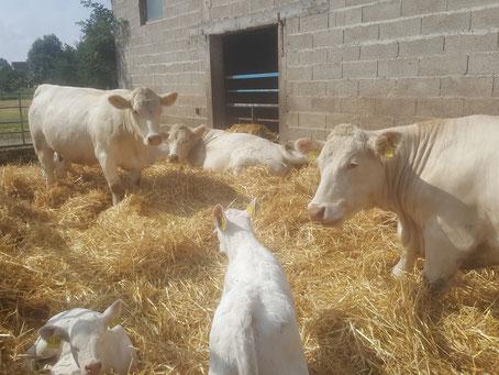 Kühe und Kälber relaxen im Außenlaufstall...bald schon beginnt für sie die Weidesaison