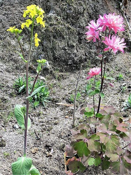 教会花壇の〈菜の花とおだまき〉