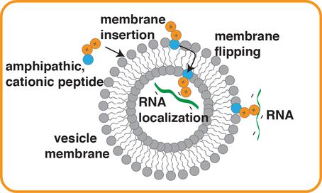 Des interactions électrostatiques induites par des peptides hydrophobes courts chargés positivement suffisent pour lier l'ARN aux membranes vésiculaires . Cette découverte permet de mieux comprendre comment l'ARN et les membranes auraient pu s'assembler