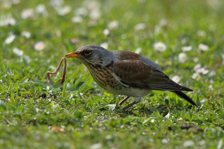 Vögel auf Futtersuche erleichtern die Beobachtung und Bestimmung wie hier die Wacholderdrossel