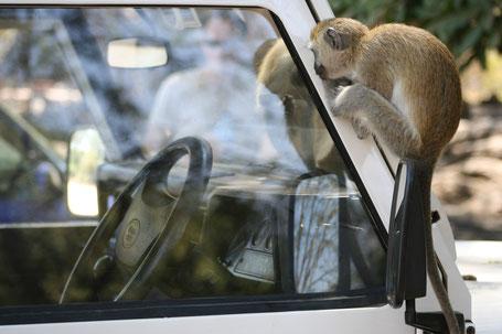 Affen zu Besuch