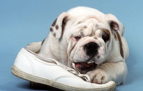 Hund kaut auf Schuh