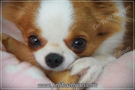 Chihuahua couleur rare
