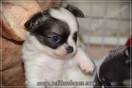 Chien chihuahua poil long