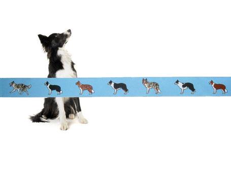 Border Collie Webband Hunde Borte