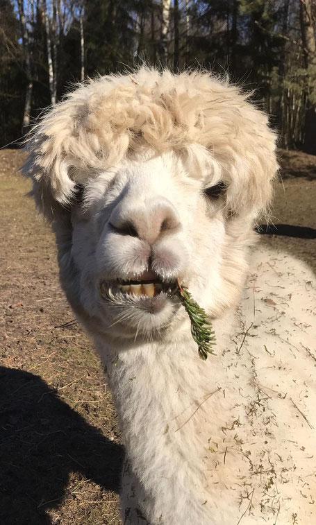 4. April - Dreckige Alpakas - die Freude eines jeden Lameros. Aber Hanibal treibt es auf die Spitze: Er nimmt den Wald sogar im Maul mit nach Hause!