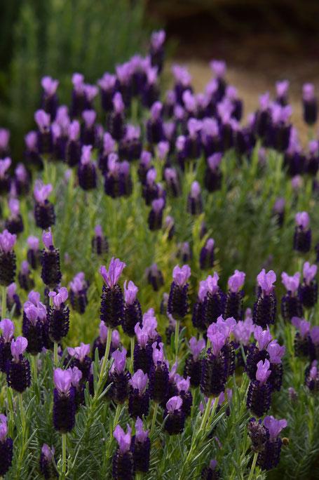 small sunny garden, desert garden, amy myers, photography, garden blog, lavandula stoechas, madrid, lavender, spanish