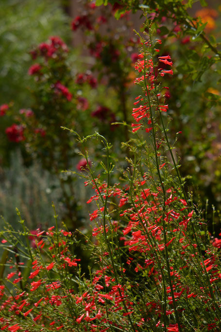 small sunny garden, russelia