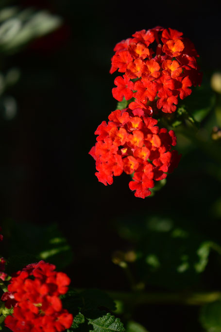 small sunny garden, lantana, denver red