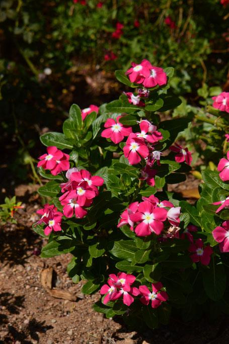 small sunny garden, catharanthus, roseus