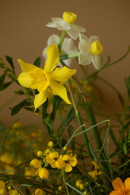 Narcissus x odorus with Senna nemophila