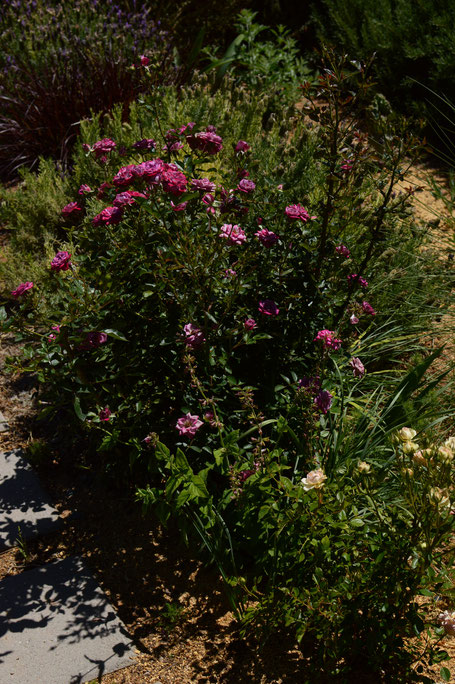 small sunny garden, desert garden, amy myers, photography, garden photography, sonoran desert, tuesday view, miniature roses