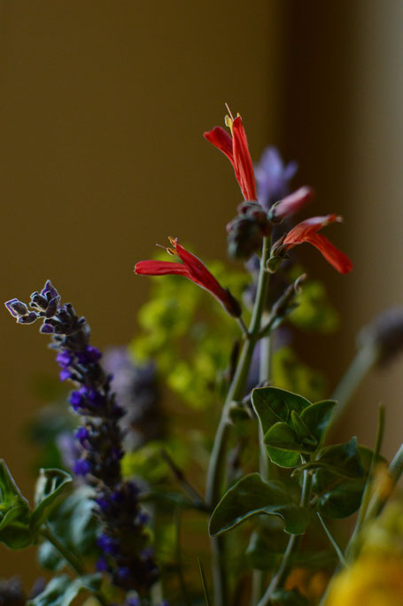 small sunny garden, desert garden, amy myers, photography, in a vase on monday, iavom, monday vase, justicia, californica, chuparosa, lavandula, goodwins creek gray