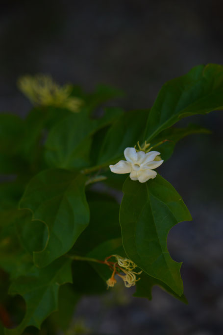 Jasminum sambac is also blooming.