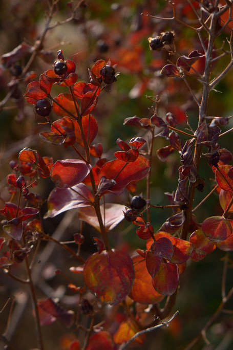 desert garden, small sunny garden, amy myers, photography, autumn, foliage, leaves, lagerstroemia, crape myrtle, dynamite