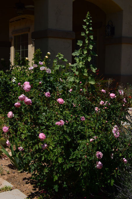 small sunny garden, desert garden, amy myers, photography, garden photography, sonoran desert, tuesday view, the alnwick rose, david austin, rose