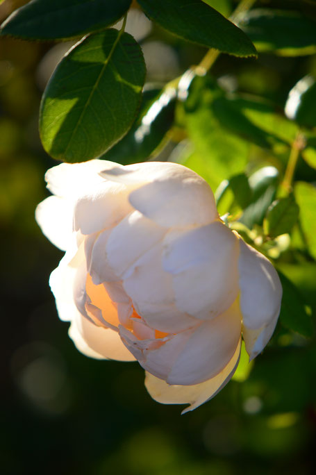 small sunny garden, desert garden, amy myers, garden bloggers bloom day, gbbd, november, photography, wollerton old hall, rose