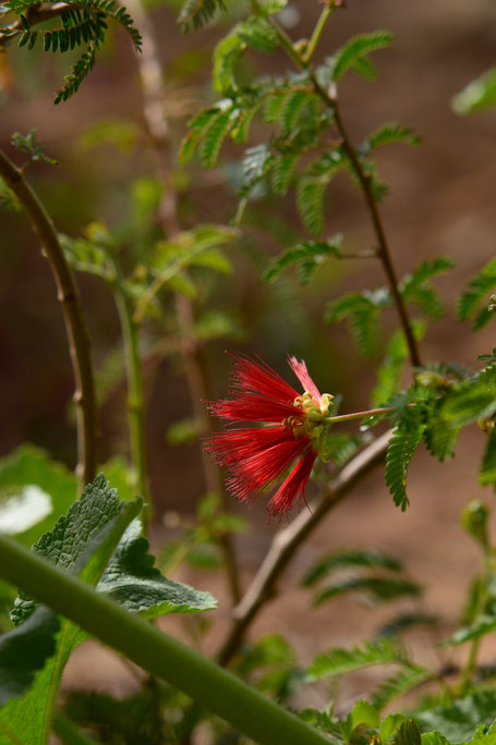 small sunny garden, desert garden, amy myers, photography, gbbd, garden bloggers bloom day, spring, flowers, calliandra, californica, fairy duster, baja