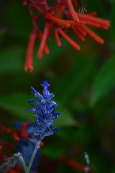 salvia farinacea with hamelia patens