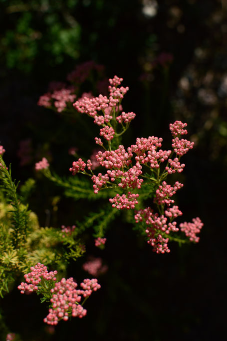 small sunny garden, desert garden, amy myers, photography, tuesday view, march, spring, ozothamnus