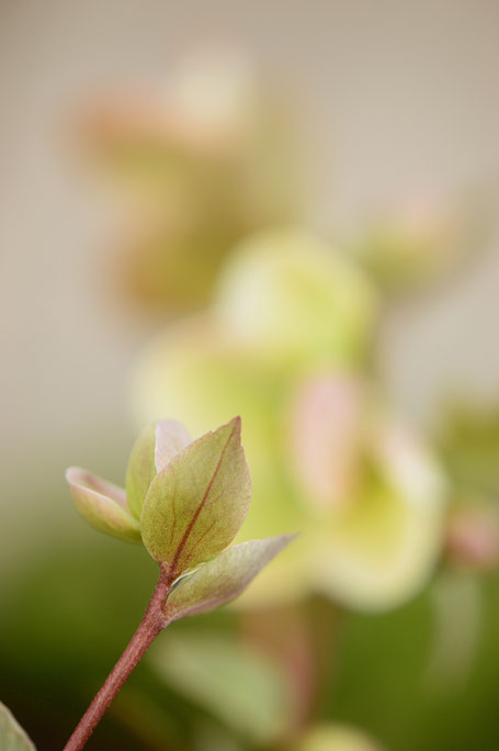hellebore ivory prince, amy myers photography