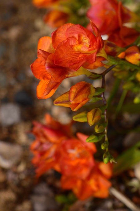 small sunny garden, desert garden, amy myers, photography, gbbd, garden bloggers bloom day, spring, flowers, freesia