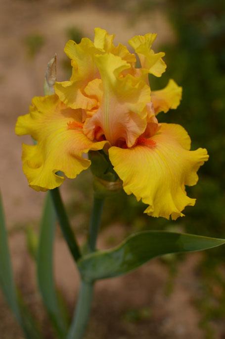 small sunny garden, desert garden, amy myers, photography, garden photography, iris, abbondanza, bearded