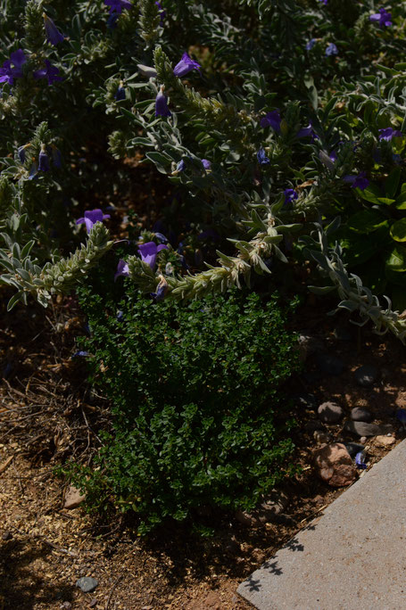 small sunny garden, desert garden, amy myers, photography, garden blog, tuesday view, lemon thyme